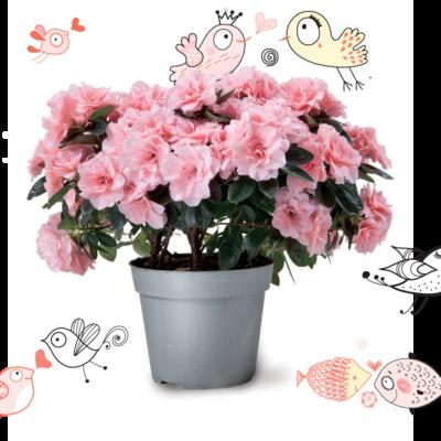azalée - plante