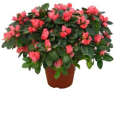 azalea - enkel plant