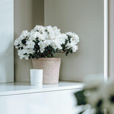 azalea in pot