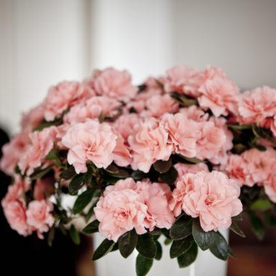Aiko Rose